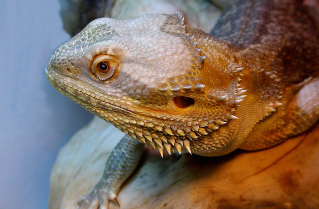 Pawn Shop Bearded Dragon